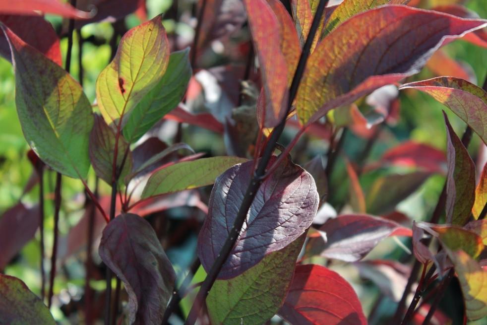 White dogwood Kesselringii (foliage in autumn)