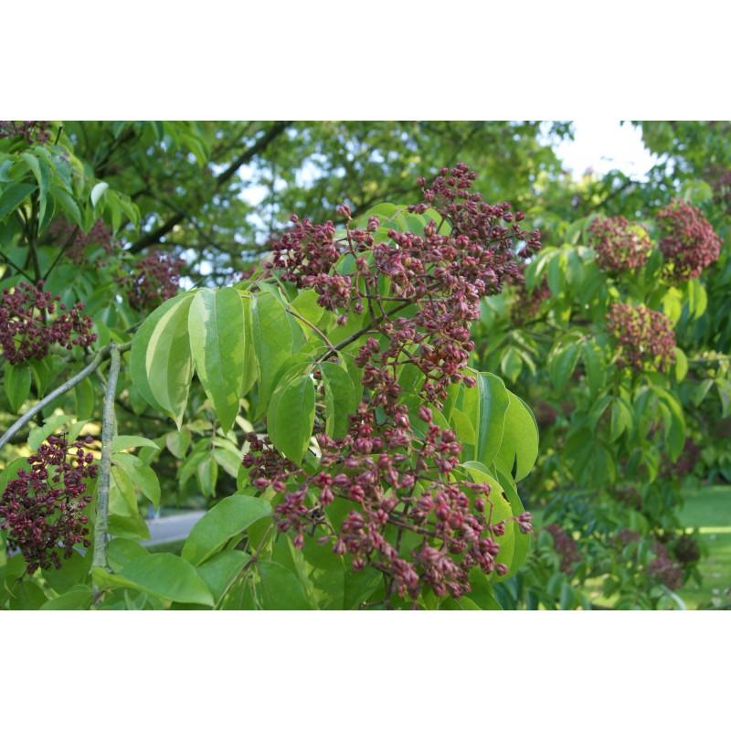 Honey Tree - Tetradium Daniellii