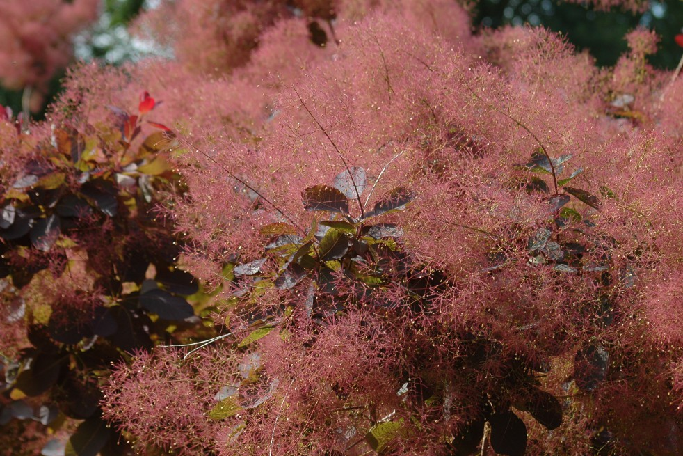 Arbre perruque pourpre cotinus coggygria royal purple - Arbuste feuillage pourpre ...