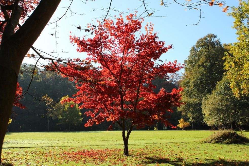 Purple Japanese Maple Acer Palmatum Atropurpureum