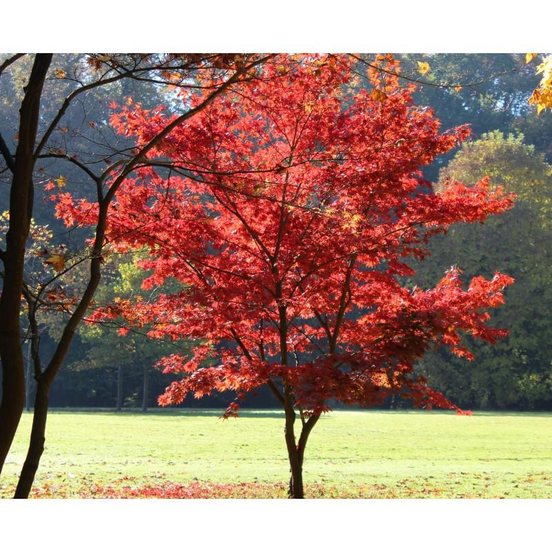 Rable du japon pourpre acer palmatum atropurpureum - Erable du japon bloodgood ...