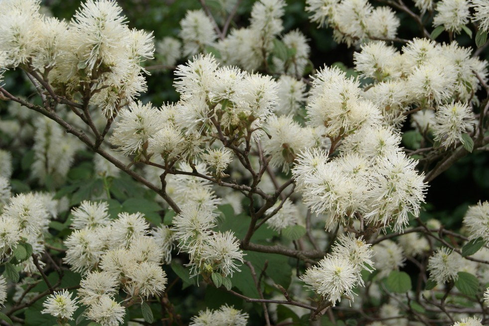 Witch Alder Fothergilla Major