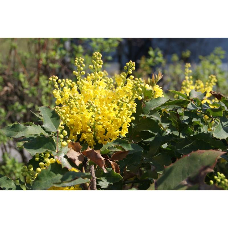 mahonia feuille de houx mahonia aquifolium. Black Bedroom Furniture Sets. Home Design Ideas