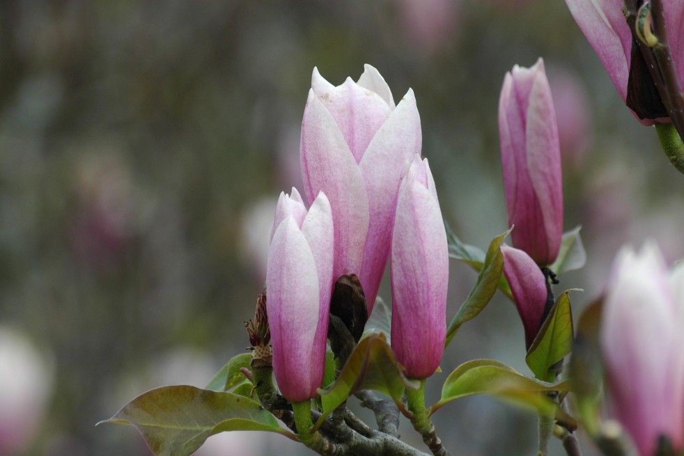 Magnolia Gresham Heaven Scent