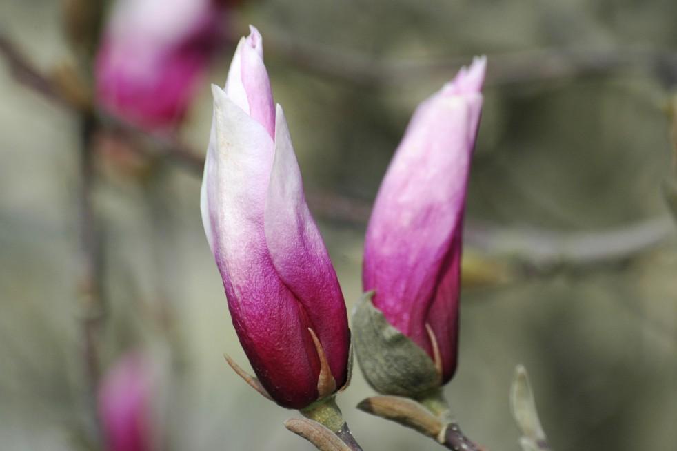 Magnolia Liliflora Betty