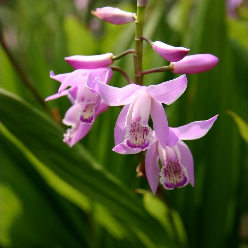 Bletilla Striata Pink - Perennial orchid