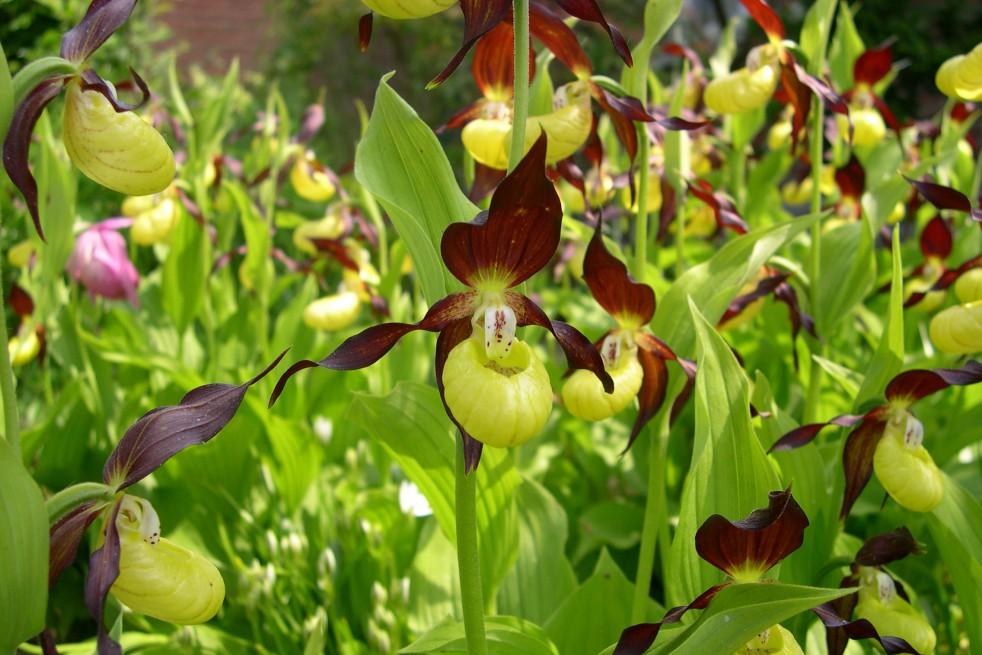 Cypripedium calceolus sabot de venus d 39 europe orchid e - Orchidee sabot de venus ...