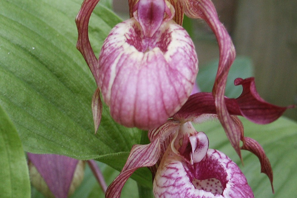 Cypripedium macranthos