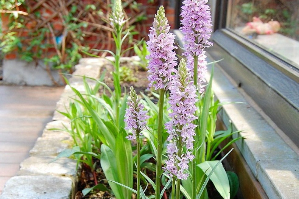 Heat Spotted Orchid