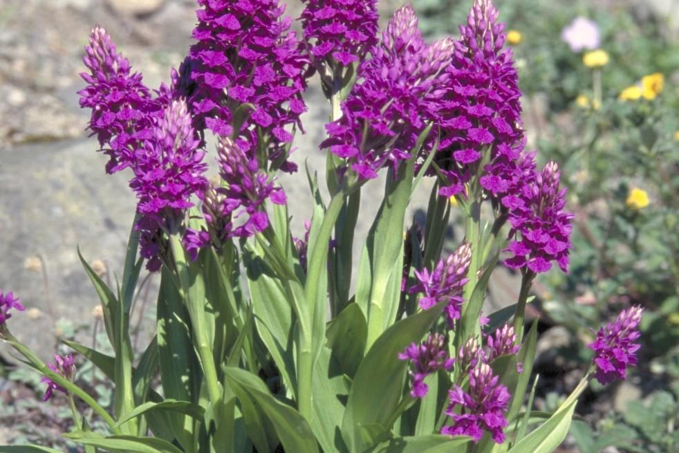 Purple orchis